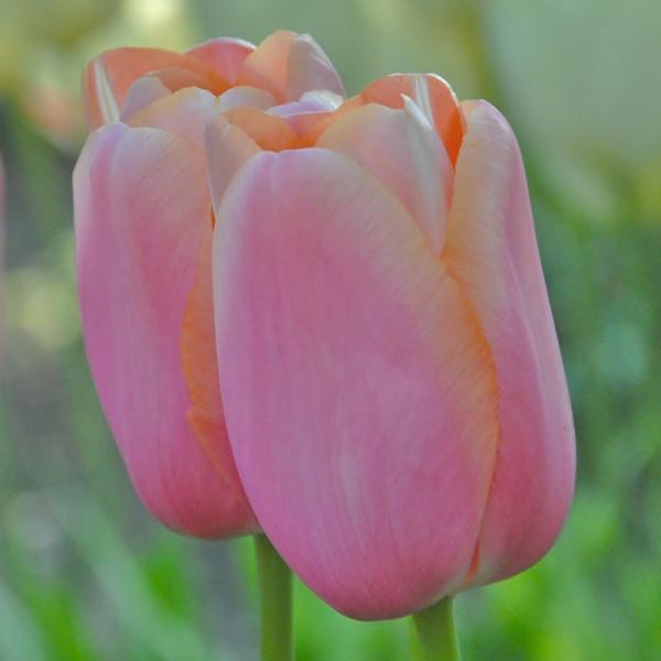 Tulp Menton