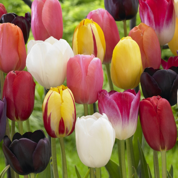 Tulp laat bloeiend gemengd