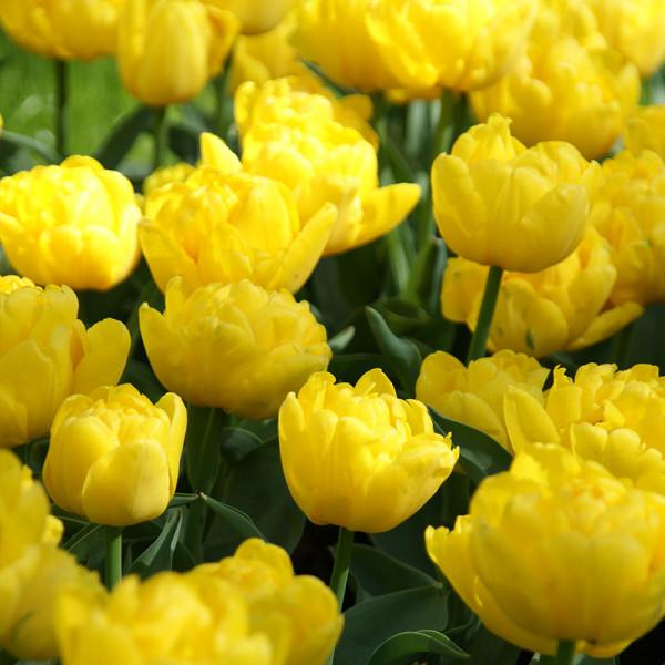 Tulp Yellow Baby