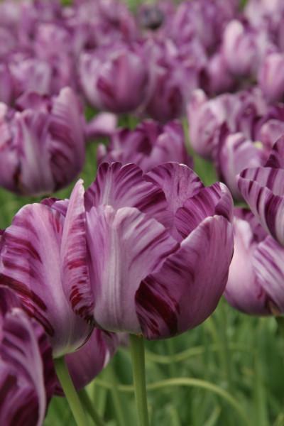 Tulp Insulinde