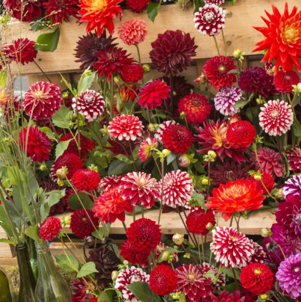 Rode en tweekleurige Dahlia Mix