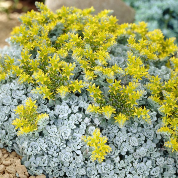 Sedum spath. 'Cape Blanco'