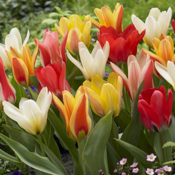 Tulp vroeg bloeiend gemengd