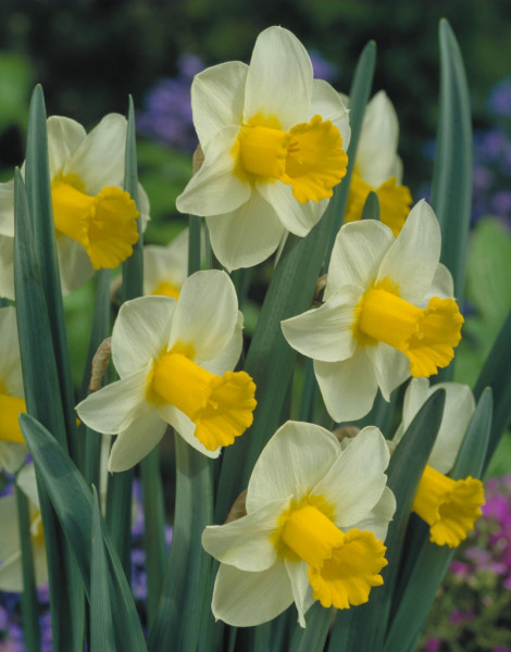 Narcis Smiling Sun