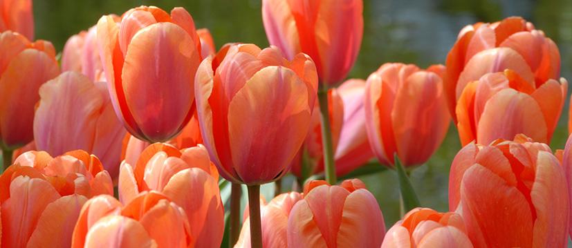 Darwin Hybride Tulpen