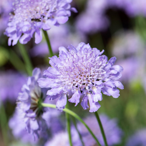 Duifkruid (Scabiosa col.) 'Butterfly Blue'