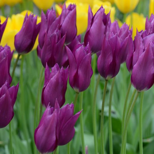 Tulp Purple Dream