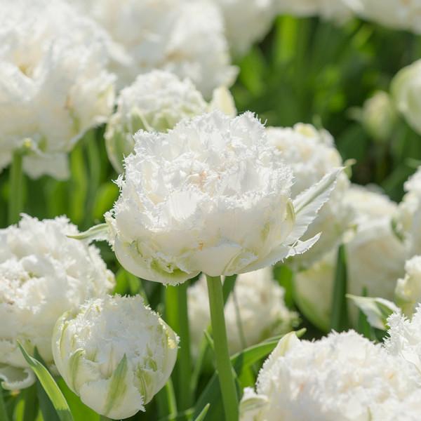 Tulp Snow Crystal