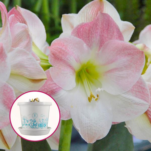 Amaryllis Apple Blossom op pot in geschenkdoos