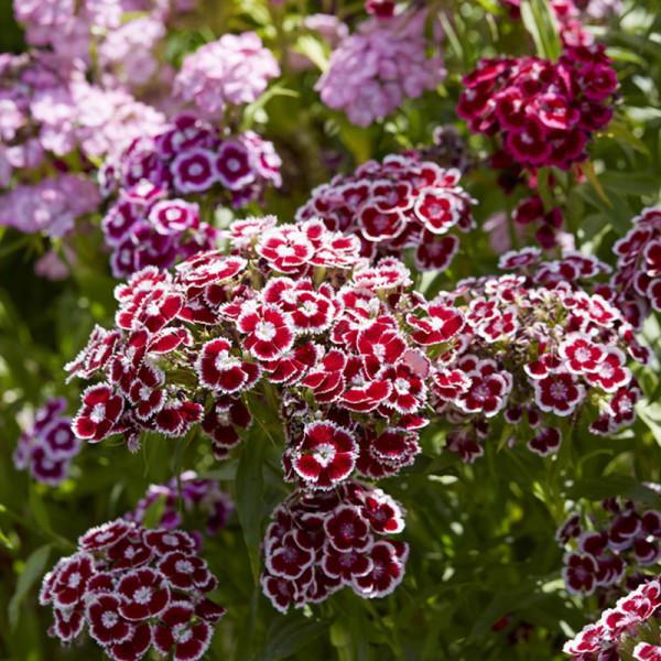 Bosanjer (Dianthus barbatus)