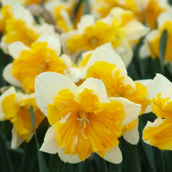 Narcis Orangery