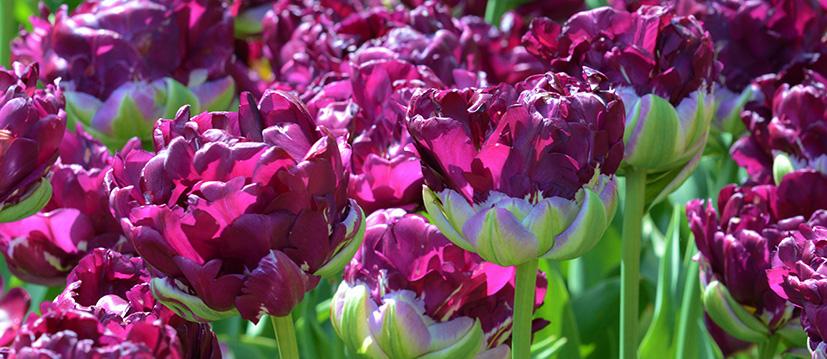Dubbele Late Tulpen
