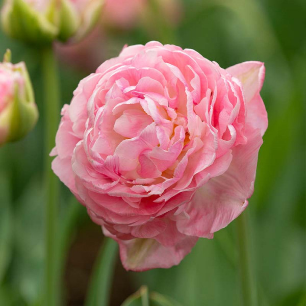 Tulp Only Me