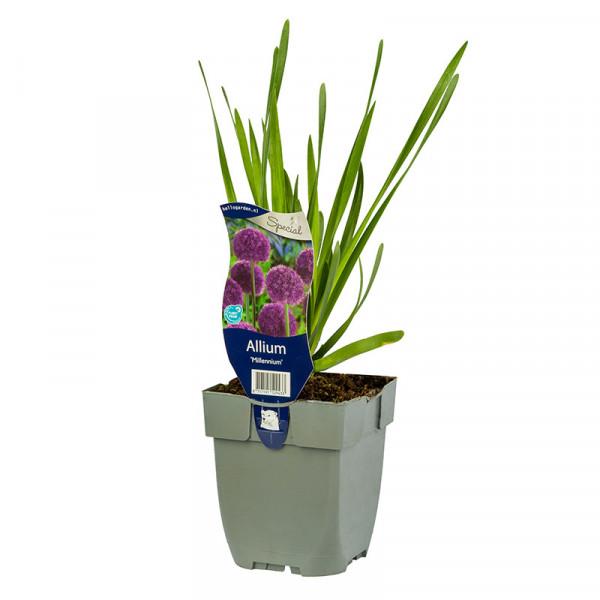 Allium 'Millennium' - sierui