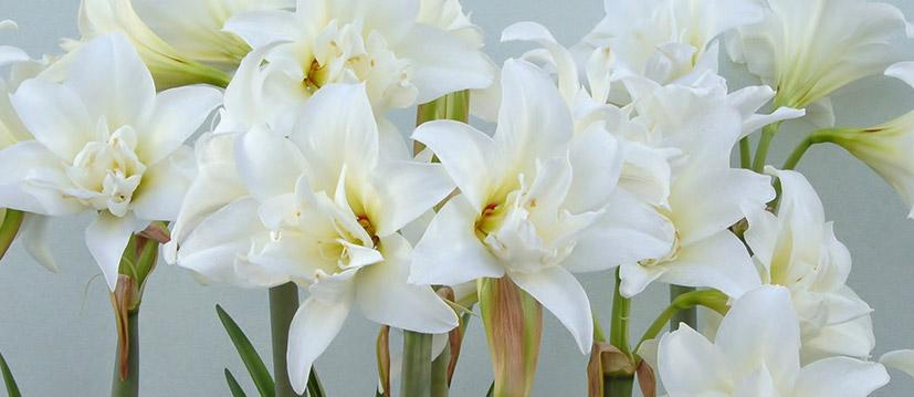 Witte Amaryllis
