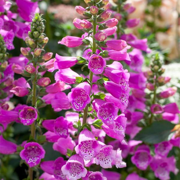 Vingerhoedjeskruid (Digitalis) 'Dalmatian Purple'