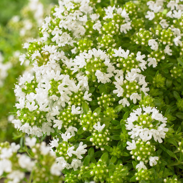 Kruiptijm (Thymus praecox) 'Albiflorus'