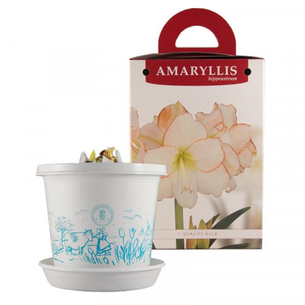 Amaryllis Picotee op pot in geschenkdoos