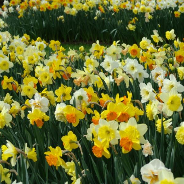 Narcis grootbloemig gemengd