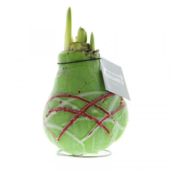 Wax Amaryllis Picasso Groen