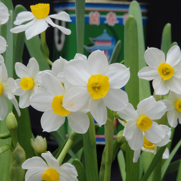 Narcis Chinese Sacred Lily