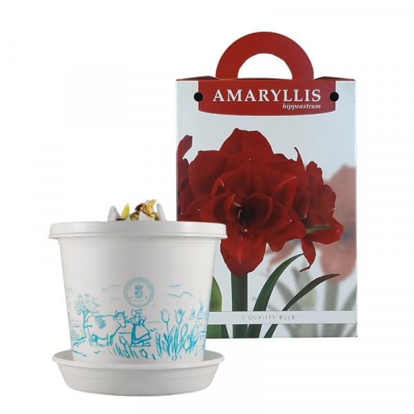 Amaryllis Cherry Nymph op pot in geschenkdoos