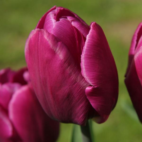 Tulp Purple Prince