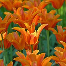 Alles-Over-Tulpen-leliebloemig