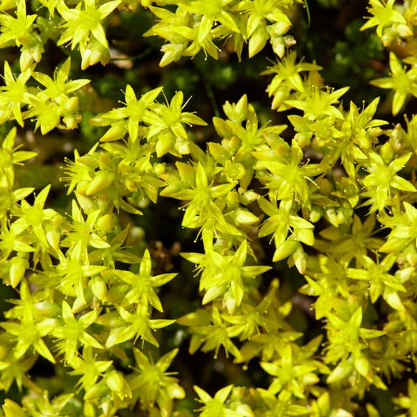Vetkruid (Sedum acre) 'Yellow Queen'
