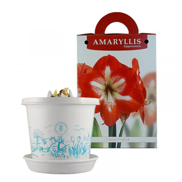 Amaryllis Minerva op pot in geschenkdoos