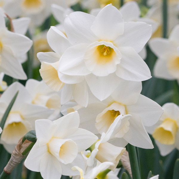 Narcis Silver Smiles