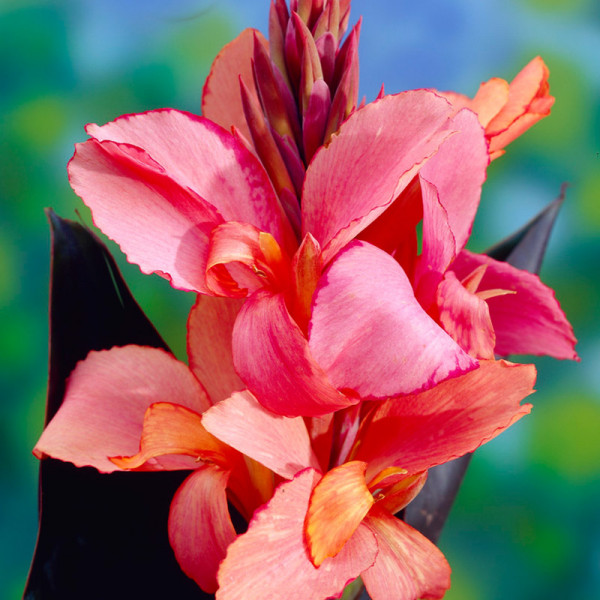 Canna Russian Red