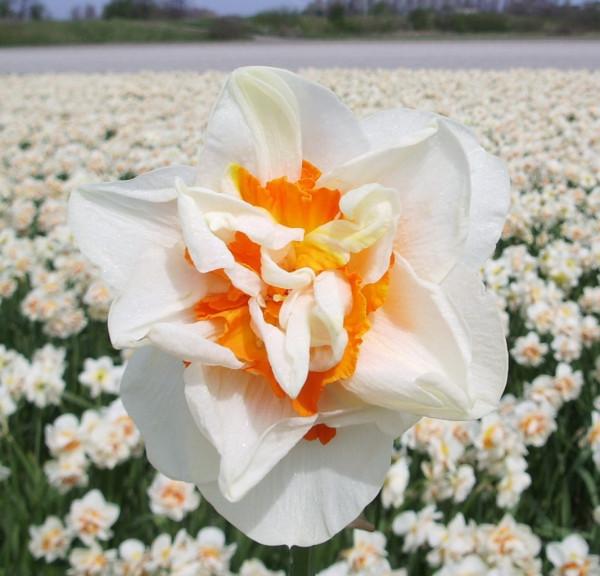 Narcis Flower Parade
